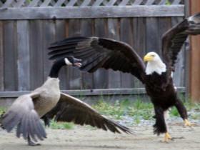 摄影师拍到了一只老鹰和一只鹅打架 网友们的评论太搞笑