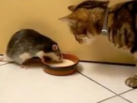 胆大的老鼠与猫咪抢吃的