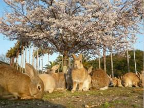 日本的毒气岛曾经用来侵略战争 现在被一群兔子占领