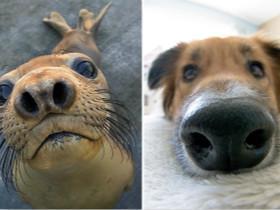 海豹是海洋中的一种萌物 能够完美模仿汪星人