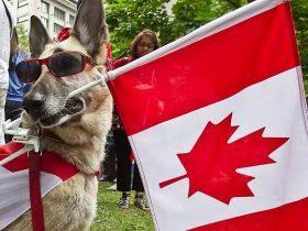 加拿大对于宠物狗的监管制度更加严格 无证上街要被罚250加元