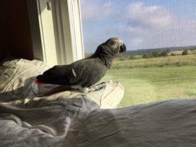 因为新交的男朋友不喜欢鸟类 女人就把养了17年的鹦鹉扔掉了