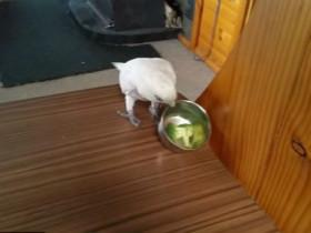 主人带了一只鹦鹉回家时 特别担心家里的猫咪
