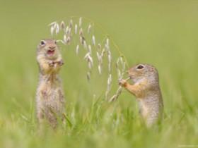 """摄影师用镜头捕捉""""地松鼠""""照片 自由自在地生活在野外"""