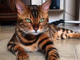 你知道有种动物叫豹猫(孟加拉猫)吗?