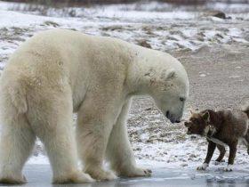 带着狗去冰冻的河面钓鱼,没想到一头北极熊却突然窜了出来