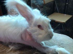 法国的农场残忍虐待安哥拉兔 照片和视频被媒体曝光出来