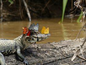 鳄鱼的脸上有一群蝴蝶在起舞 不要以为这只是一种偶然现象