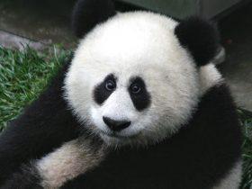 荷兰为租借大熊猫努力了15年,耗资700万欧元修建熊猫宫殿