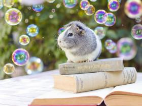 这只美美的荷兰鼠叫Mieps 主人为它拍的照片非常有文艺范