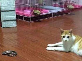 剧毒的银环蛇闯入家中 被女孩收养的一只流浪猫咪及时发现