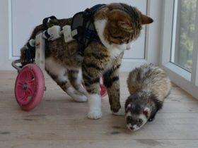 瘫痪猫咪的好朋友是一只安格鲁雪貂 它们在一起幸福地生活