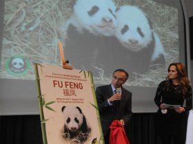 """奥地利动物园为大熊猫龙凤胎举行命名仪式 """"福伴""""和""""福凤"""""""