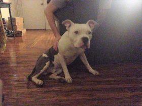 女孩养的一条狗被偷了两次 每次都是又被小偷送了回来