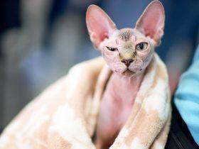 女子很开心地花钱买了一只无毛猫 没想到竟是一只普通猫咪