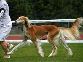 萨路基猎犬是埃及的贵族犬,它可能是最早被知道驯化的犬