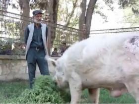 它是阿富汗全国唯一的一头猪 还是中国以前送的