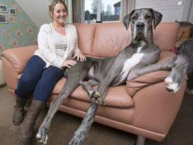 世界上最大的狗狗Freddy 一只体长超2米重184斤的大丹犬