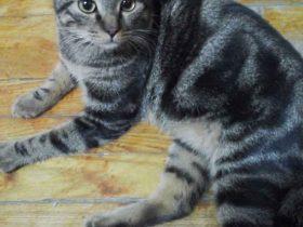 上海猫咪领养:6个月大、已绝育和体外驱虫的小公猫