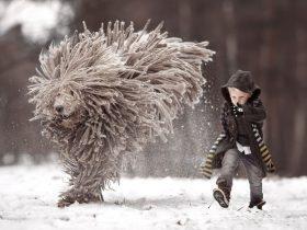 俄罗斯一可蒙犬与男孩在雪地嬉戏 神似挂在空中的拖把