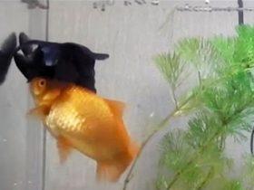 友谊的小不能说翻就翻 金鱼帮助患病的伙伴浮上水面来觅食