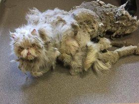 让人很心疼的波斯猫,浑身都是打结的毛发,还好遇到了好人
