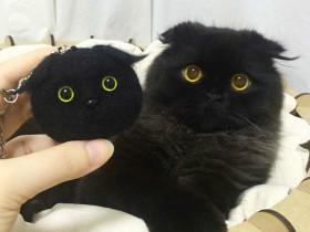 网上一只喜欢把眼睛瞪得圆圆的折耳猫 样子就像一个玩具