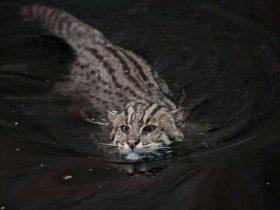 女子外出捡到一只奇怪的小奶猫 猫咪长大后喜欢游泳抓鱼