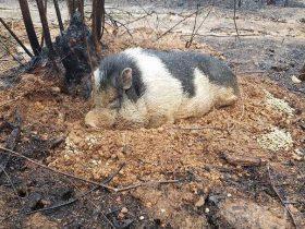 主人逃离大火忘带宠物猪 它奇迹存活苦守在原地