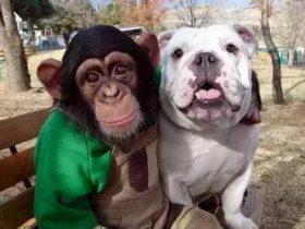 黑猩猩小庞和英国斗牛犬詹姆斯?《狗狗猩猩大冒险》节目宣布复活