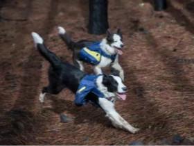 智利最严重的火灾结束后,三只边牧犬肩负让森林复活的任务