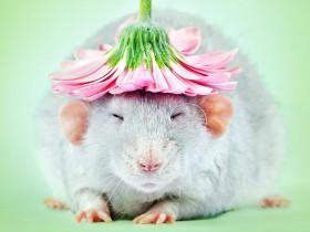 养上几只老鼠当宠物,给它们拍了一些美美的艺术照片(27张)