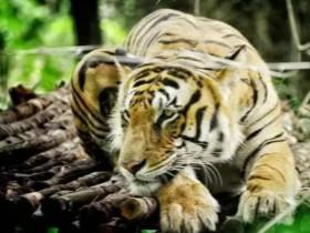 印度老人被亲生子女送去喂老虎,只为领取万元补偿金