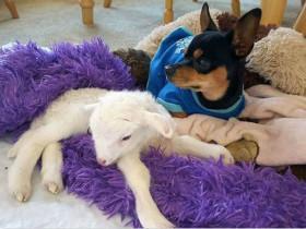 友谊:吉娃娃与小羔羊的生死别离,故事有些伤感