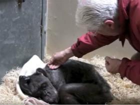 59岁的黑猩猩临终前拒绝进食, 直到相识44年的老人出现