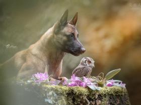 镜头下,德国牧羊犬Ingo和猫头鹰Poldi,令人羡慕的友谊(32张)