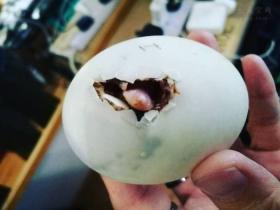 女子分享独特养宠经历:餐厅里买一颗鸭蛋,将它孵化成小鸭子