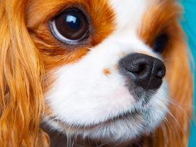 关于查理士王小猎犬的常识,你了解多少?