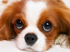 如此漂亮迷人的查理王小猎犬,你有见过吗?(19张)