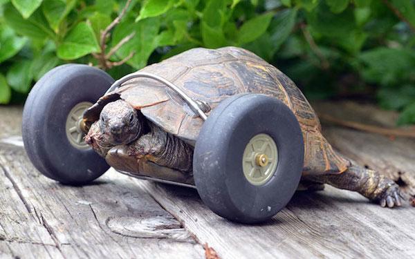 被老鼠吃掉前肢的乌龟  现在跑起来比反而快了一倍