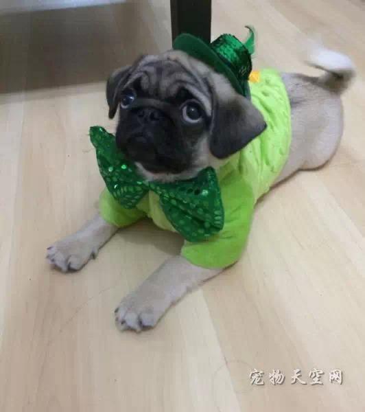 不忍直视的动物节日打扮 总有一张让你笑的肚子痛(一)