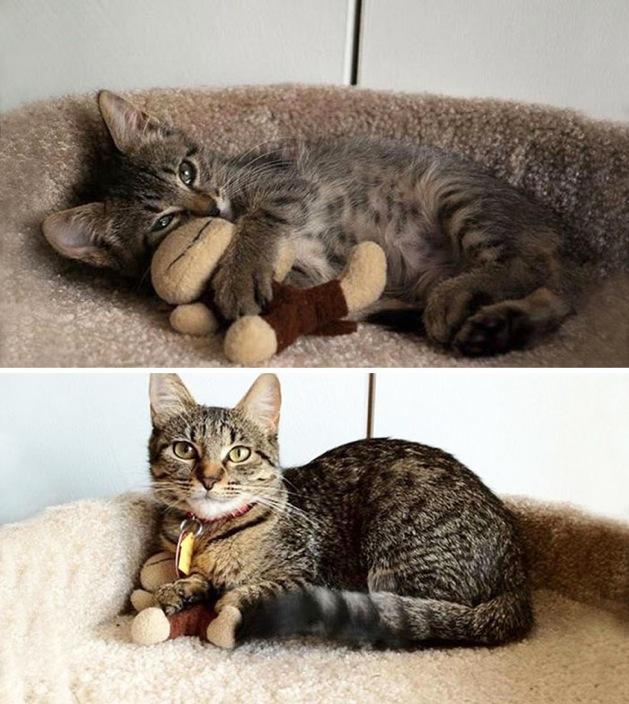 与玩具在一起  宠物长大前和长大后的对比(一)