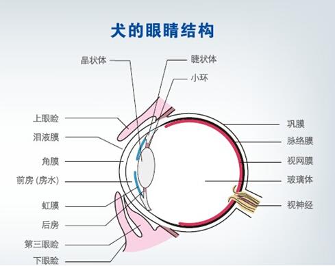 犬的眼睛结构和常见的眼部疾病