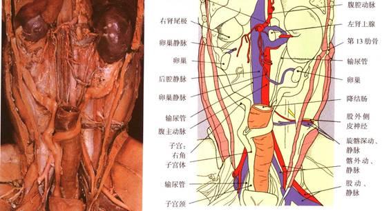 犬子宫卵巢摘除术的做法(组图)