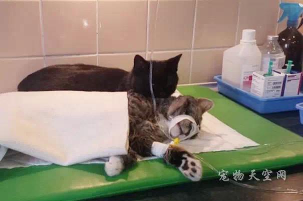 波兰一只神奇的猫护士 救助站里照顾其它动物