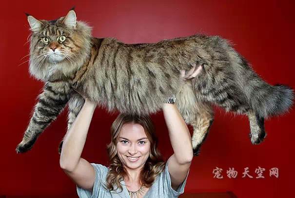 关于宠物猫的假孕 宠物主人需要了解
