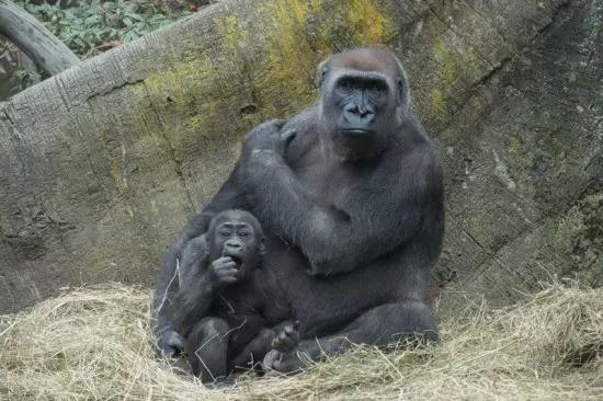 纽约两只刚出生不久的大猩猩处女秀