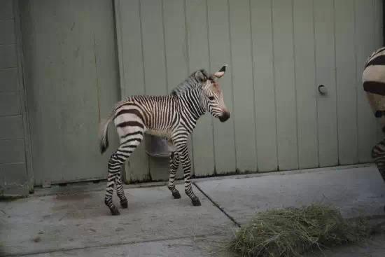 美国弗吉尼亚州动物园一只哈特曼山斑马诞生