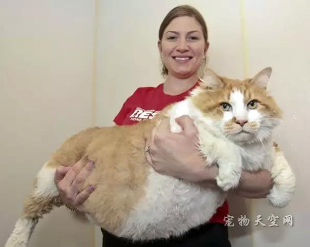 世界上的一些体型惊人的大猫咪 不知道它们会不会惊到你