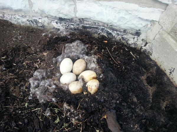 加拿大一只鹅感动世界 即使被火烧也不抛弃未出世的孩子